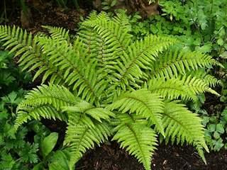 تفسير رؤية نبات السرخس في المنام أو الحلم