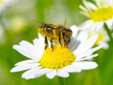تفسير رؤية نحلة في المنام أو الحلم