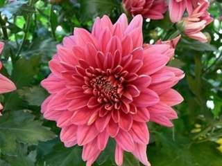 تفسير رؤية نباتات الأضاليا في المنام أو الحلم