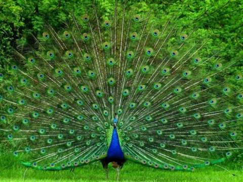 تفسير رؤية طاووس في المنام أو الحلم