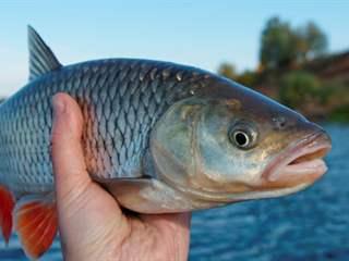 تفسير رؤية سمكة في المنام أو الحلم