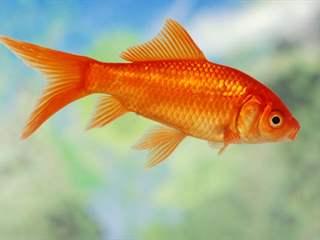 تفسير رؤية سمكة ذهبية في المنام أو الحلم