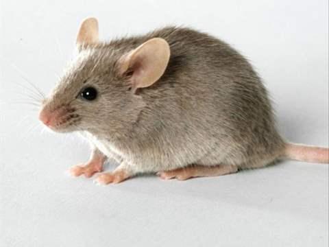 تفسير رؤية فأر في المنام أو الحلم