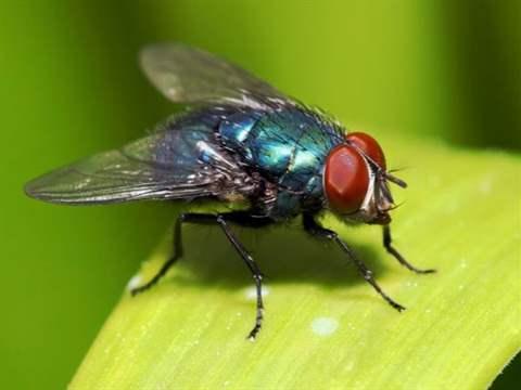 تفسير رؤية ذبابة في المنام أو الحلم