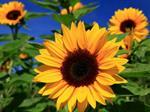 تفسير رؤية عباد الشمس أو دوار الشمس في المنام أو الحلم