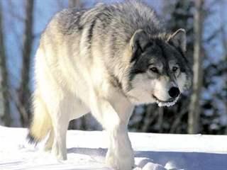 تفسير رؤية الذئب في المنام أو الحلم