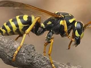 تفسير رؤية زنبور في المنام أو الحلم