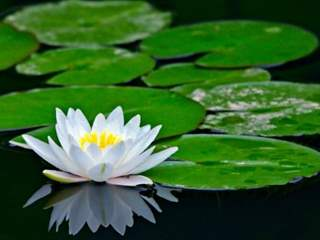 تفسير رؤية زنبق الماء في المنام أو الحلم