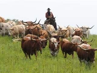 تفسير رؤية ماشية في المنام أو الحلم