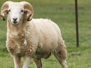 تفسير رؤية خروف في المنام أو الحلم