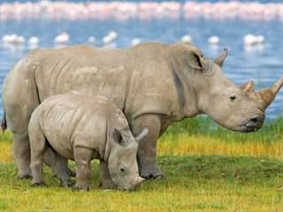 تفسير رؤية وحيد القرن أو الكركدن في المنام أو الحلم
