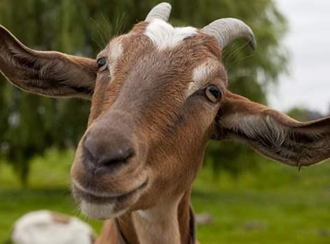تفسير رؤية حيوان الجدي التيس أو ذكر الماعز في المنام أو الحلم أحلامك نت