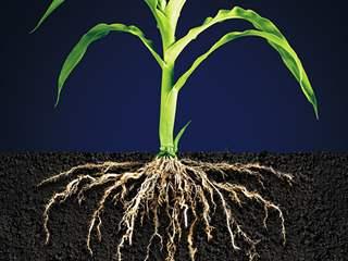تفسير رؤية جذر أو جذور النباتات في المنام أو الحلم